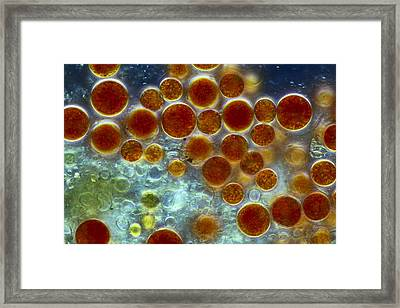 Haematococcus Algae, Light Micrograph Framed Print by Science Photo Library