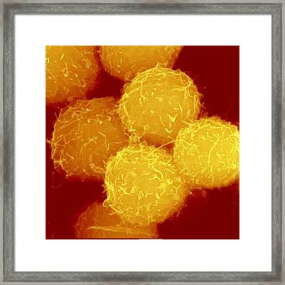 Haematopoietic Stem Cells, Sem Framed Print by Science Photo Library