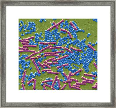 Haemolytic Streptococcus And E Coli Framed Print