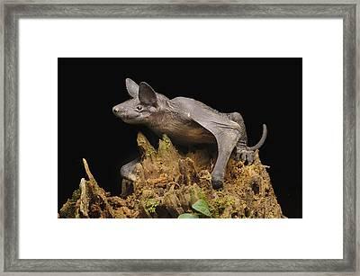 Hairless Bat Tibu Batang Ai Np Malaysia Framed Print by Ch'ien Lee