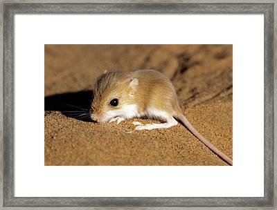 Hairy-footed Gerbil Framed Print by Louise Murray/science Photo Library