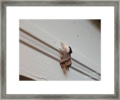 Hairy Russian Moth Framed Print