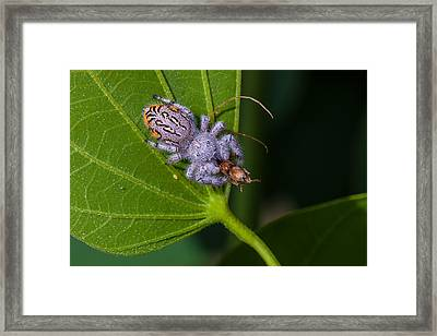 Hairy White Spider Eating A Bug Framed Print by Craig Lapsley