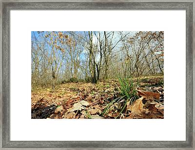 Hairy Wood-rush (luzula Pilosa) Framed Print