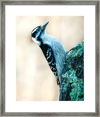 Hairy Woodpecker Framed Print by Bob Orsillo