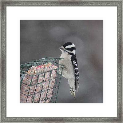 Hairy Woodpecker Framed Print by Heidi Hermes