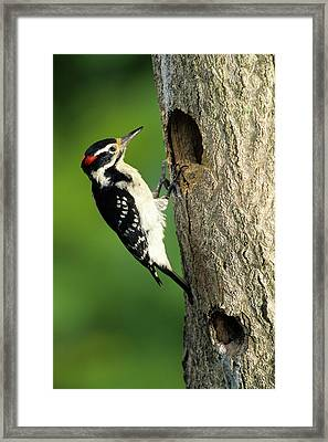 Hairy Woodpecker (picoides Villosus Framed Print by Richard and Susan Day