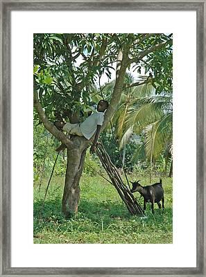 Haitian Goatherd Framed Print by Marianne Miles