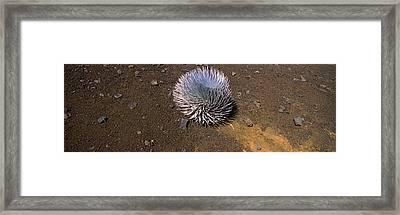 Haleakala Silversword Argyroxiphium Framed Print by Panoramic Images