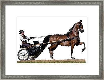 Half Arabian Pleasure Driving Horse  Framed Print