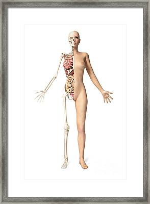 Half Cutaway View Showing Skeleton Framed Print