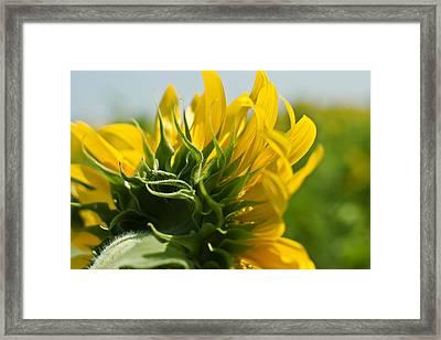 Half Sunflower Framed Print by Georgia Fowler