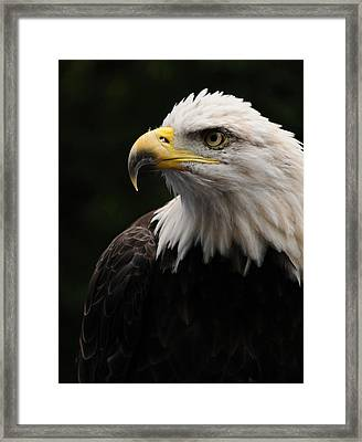 Haliaeetus Laucocephalus Framed Print by Mike Martin