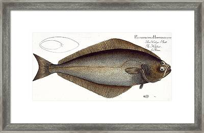 Halibut Framed Print by Andreas Ludwig Kruger