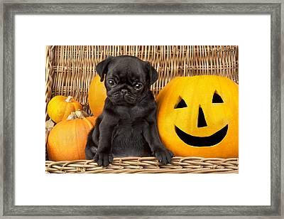 Halloween Pug Framed Print by Greg Cuddiford