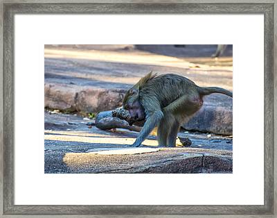 Hamadryas Baboon Exercising Framed Print by Chris Flees