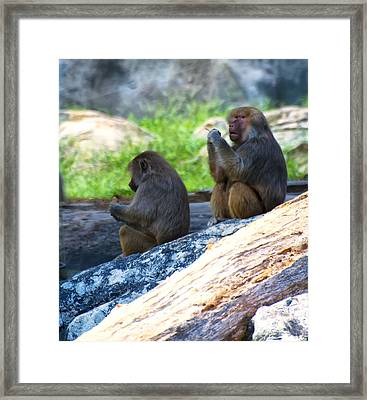 Hamadryas Baboon Sitting On Rocks Framed Print by Chris Flees