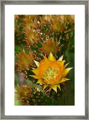 Hamanns Prickly Pear Cactus Framed Print by Cindy McDaniel