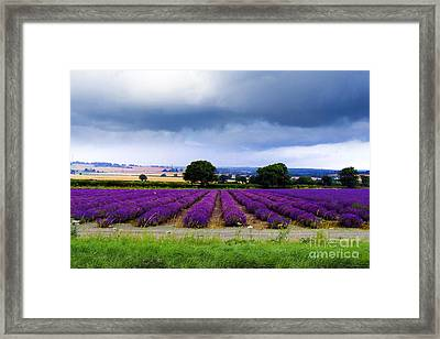 Hampshire Lavender Field Framed Print