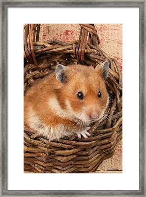 Hamster In Basket Framed Print by Greg Cuddiford
