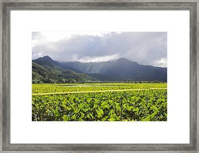 Hanalei Valley Taro Field Framed Print by Saya Studios