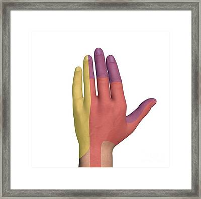 Hand Dorsal Nerve Regions, Artwork Framed Print by D & L Graphics