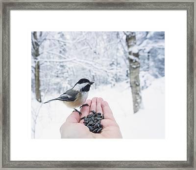 Hand Feeding A Black-capped Chickadee Framed Print by Julie DeRoche