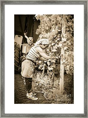Hand Pickers Following The Mechanical Harvester Harvesting Wine  Framed Print