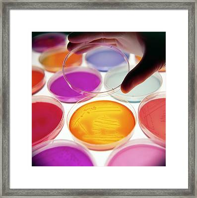 Hand Puts Lid On Petri Dish With Bacterial Culture Framed Print by Tek Image/science Photo Library