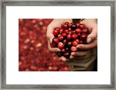 Handful Of Fresh Cranberries Framed Print