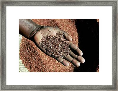 Handful Of Grain Framed Print by Mauro Fermariello/science Photo Library
