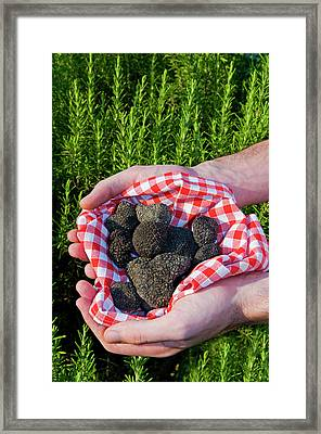 Hands Holding A Summer Black Truffles Framed Print by Nico Tondini