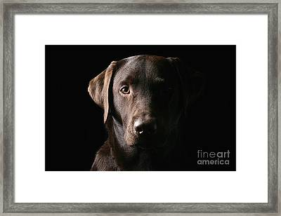 Handsome Chocolate Labrador Framed Print by Justin Paget