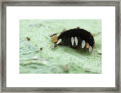 Handsome Fungus Beetle Larva And Wasps Framed Print