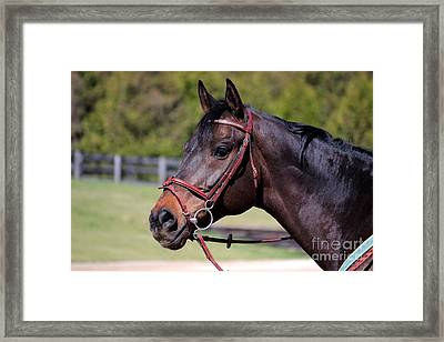 Handsome Gelding Framed Print