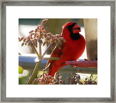 Handsome Red Male Cardinal Visiting Framed Print