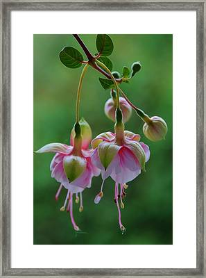 Hanging Fuschia Framed Print by Debra Martz