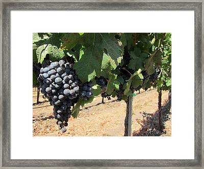 Hanging Grapes Framed Print by Amanda Schleicher