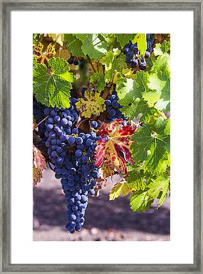 Hanging Grapes Framed Print by Garry Gay