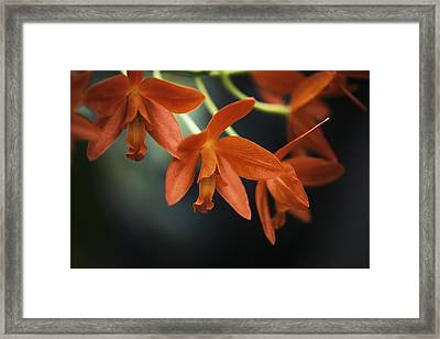 Hanging Orange Cattleya Orchid Framed Print
