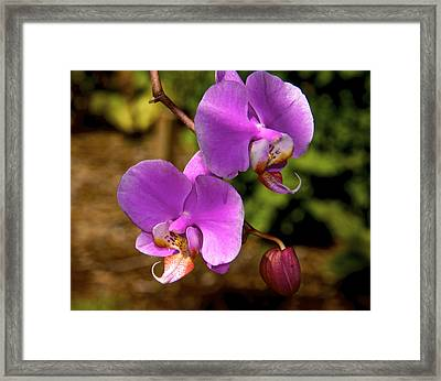 Hanging Orchids Framed Print by Kathi Isserman