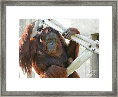 Framed Print featuring the photograph Hanging Out - Melati The Orangutan by Emmy Marie Vickers