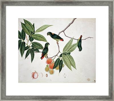 Hanging Parrot Framed Print by Natural History Museum, London