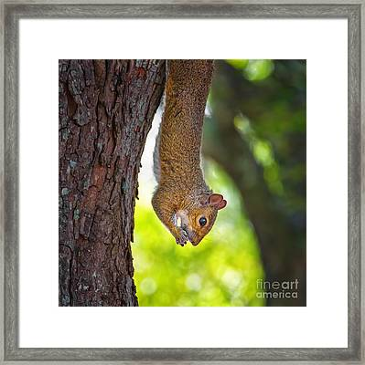 Hanging Squirrel Framed Print