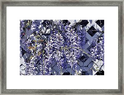 Hanging Wisteria On Lattice Framed Print
