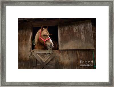 Hank Eating Hay Framed Print by Dan Friend