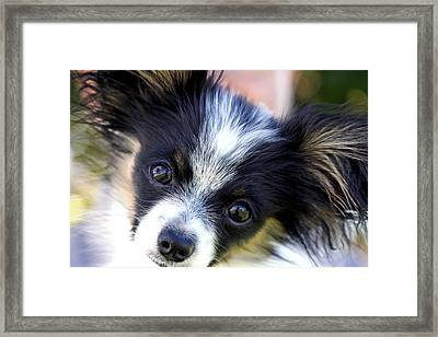 Hanna The Papillon Puppy Framed Print by Karon Melillo DeVega