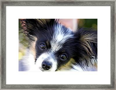 Hanna The Papillon Puppy Framed Print