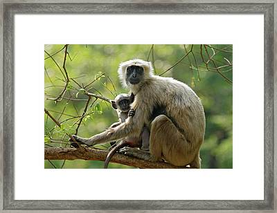 Hanuman Langoor And Young One,corbett Framed Print by Jagdeep Rajput