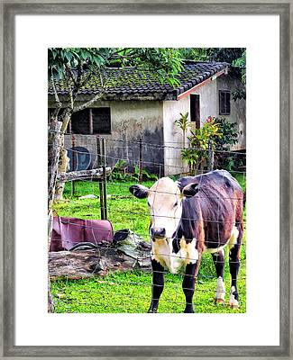 Framed Print featuring the photograph Hanzawa Cow 1 by Dawn Eshelman